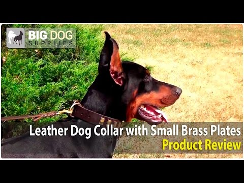 Doberman and Other Medium and Large Dog Breeds Wearing Decorated Dog Collar with Plates
