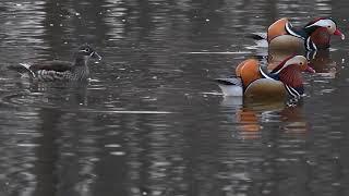 Утки-мандаринки в Приморском крае