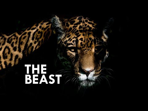 Jaguar: The True King of the Jungle