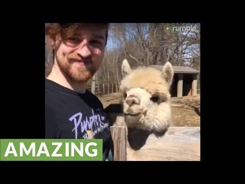 Friendly alpaca shares incredible bond with next door neighbor