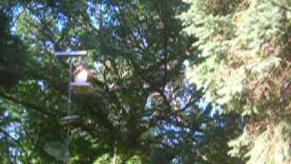 Flying Squirrel Defeats Birdfeeder Defenses.mov