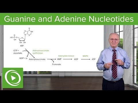 Paths to Guanine and Adenine Nucleotides – Biochemistry | Lecturio