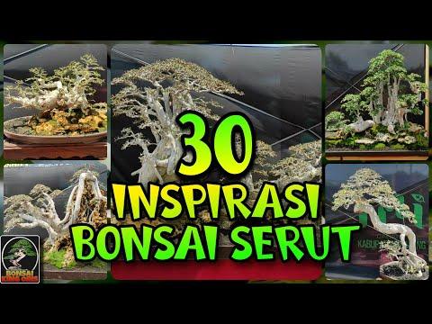 30 INSPIRASI BONSAI SERUT TERBAIK # BONSAI SERUT KONTES PAMERAN NASIONAL BULULAWANG KAB MALANG #