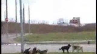 Стая собак напала на пса