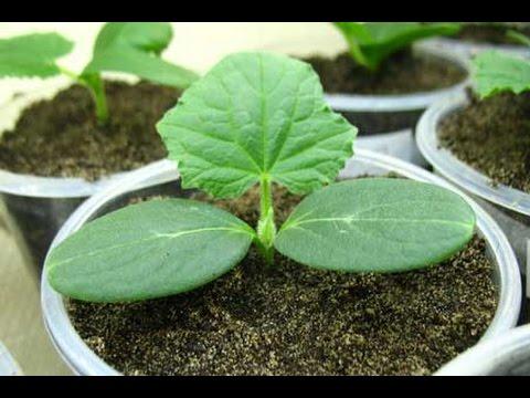 видео: Как вырастить рассаду огурцов
