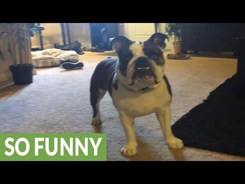 English Bulldog tries to catch fart noises