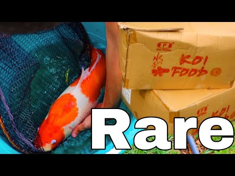 Unboxing $5000 Rare Koi Fish For My AQUARIUM