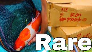 unboxing-5000-rare-koi-fish-for-my-aquarium