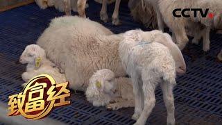 """《致富经》 20200528 兄弟联手发""""羊财""""  CCTV农业"""