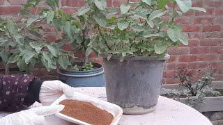 إستخدام تفل القهوه كسماد للتربه Use coffee as a fertilizer for soil