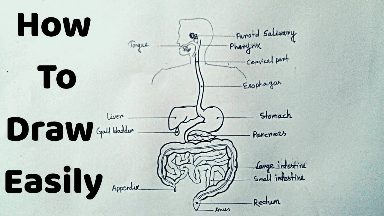 How To Draw Human Digestive System Easily