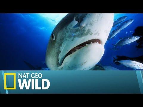 Ulubionym Miejscem Olbrzymich Rekinów Jest Plaża Tygrysów! [Arcytrudna Misja]