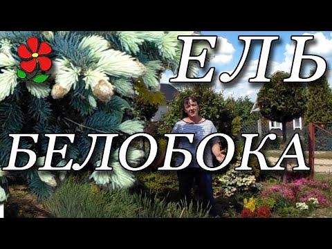 """Ель колючая """"Белобока"""" и """"Золото Майя"""""""