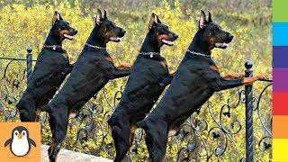 Для любителей добермана 🔥 Смешные и симпатичные собаки Добермана
