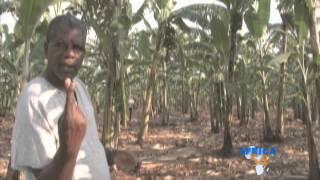 Uganda Bananas Farmers