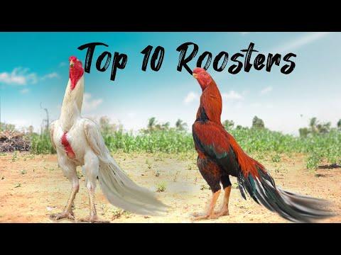 2000 முதல் 2லட்சம் வரை சேவல்கள் உள்ளதா 😱 exclusive information about exotic breed roosters