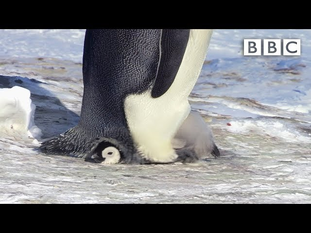 Snow chick is embarrassingly big for his pouch – Snow Chick: A Penguin's Tale Preview – BBC One