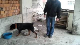 Rottweiler Böyle Eğitilir