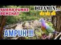 Suara Pemikat Burung Punai Auto Nyaut  Mp3 - Mp4 Download