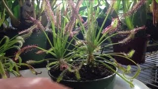 Tips and Tricks to feed a trim a Carnivorous Sundew Drosera capensis or other sundews