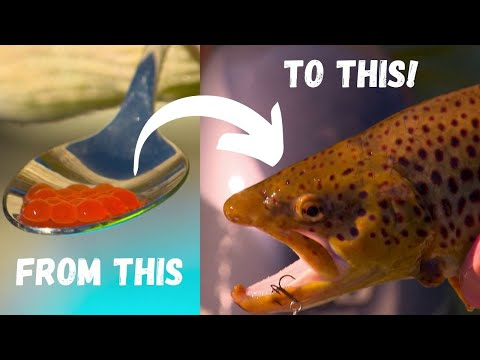 IFISH - Trout Hatchery To Fishery! (Lake Eildon Trout 101)