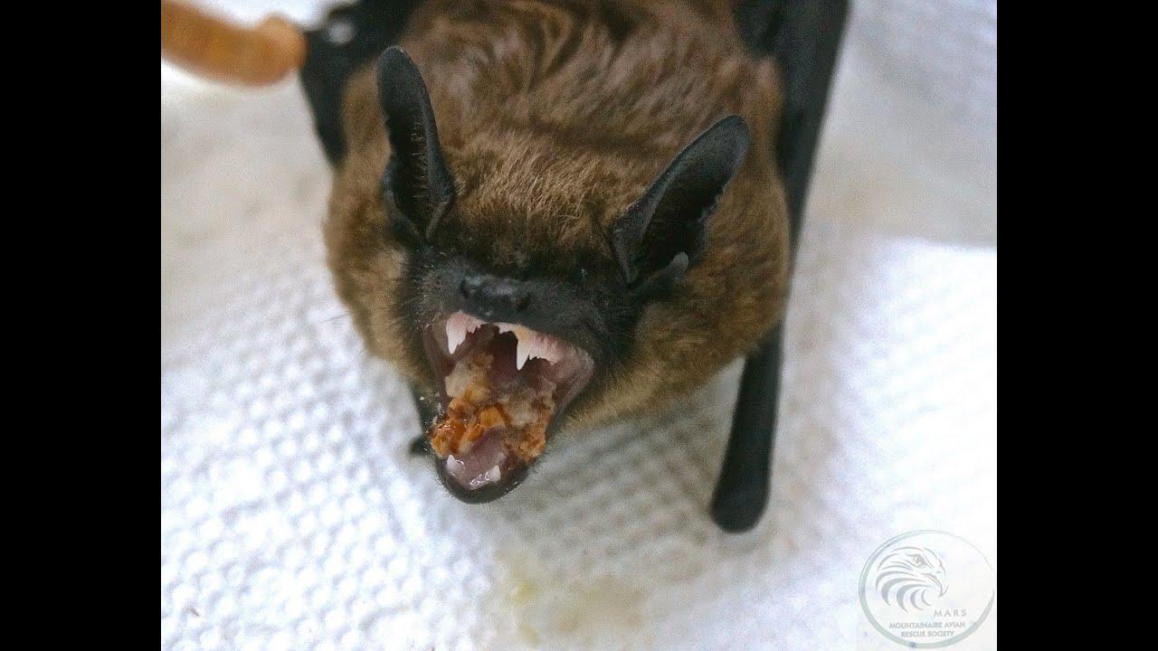 Baby big brown bat