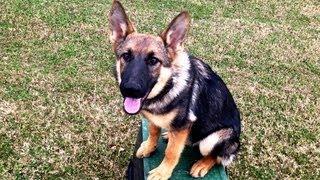 Mary Jane - German Shepherd Puppy Training Tulsa