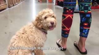 4.5 Month Old Golden Doodle, Riley! Doodle Dog Trainers   Golden Doodles Off Leash