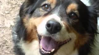 Породы собак  Английская овчарка