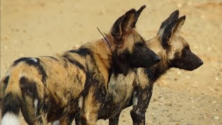 Loving Wild Dogs Hunt Together | Animals In Love | BBC Earth