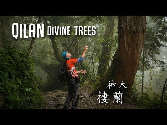 Amazing giant trees in the QILAN Divine Trees Garden (棲蘭神木園)