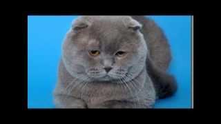 Шотла́ндская вислоу́хая ко́шка или скоттиш фолд англ  Scottish Fold порода кошек с характерным строе