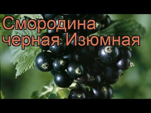 Смородина черная Изюмная (ribes nigrum) 🌿 Изюмная обзор: как сажать, саженцы смородины Изюмная