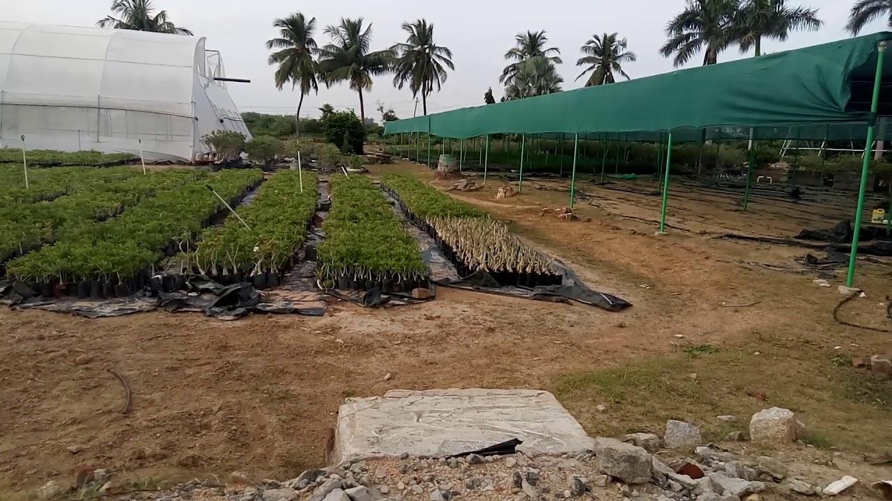 Adeniums india biggest farm india