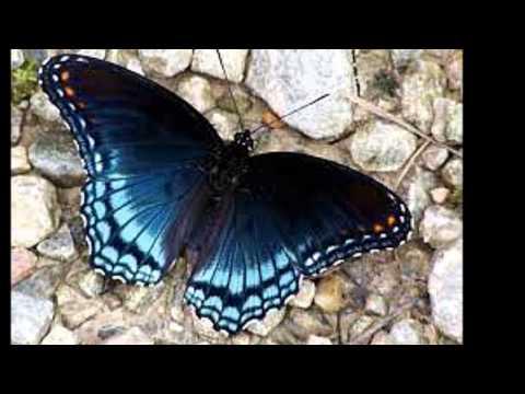 mariposas-exóticas
