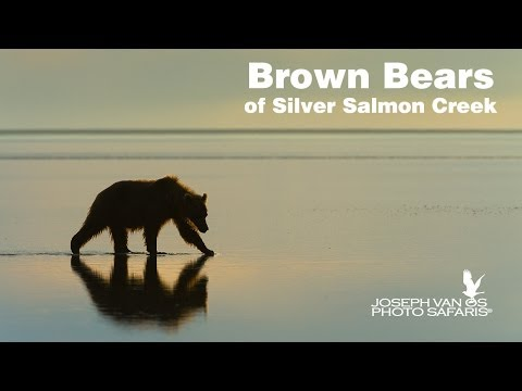 Brown Bears Silver Salmon Creek Alaska Photo Tour by Joseph Van Os Photo Safaris