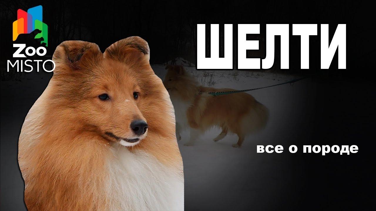 Шелти - Все о породе собаки | Собака породы - Шетландская Овчарка