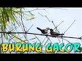 Burung Emprit Gacor Terlihat Jinak  Mp3 - Mp4 Download