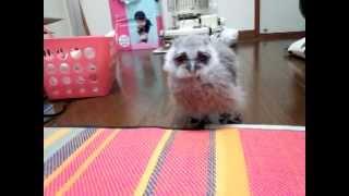 アフリカオオコノハズクの雛が走る! Baby owl running!