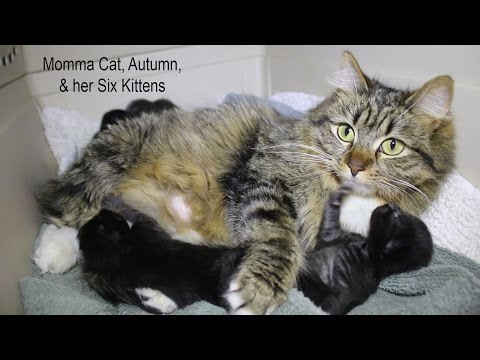 Autumn, Norwegian Forest Cat, and her Kittens Available for Adoption