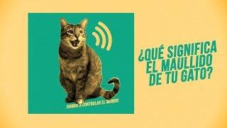 ¿Qué te quiere decir tu gato con su maullido?  | ¡Hay 6 tipos de miaus!