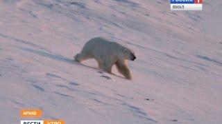 Белые медведи оккупируют Арктику