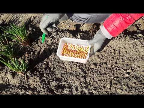 Самый простой и надежный способ посадки семян гороха