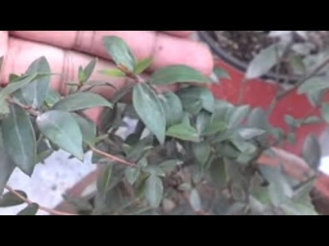 Cardamom plant க்கான பட முடிவு