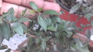 How To Grow Cardamom Plant | How To Care Green Cardamom (Urdu/Hindi)