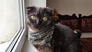 Вислоухие шотландские кошки - мимишность или генетическая патология?