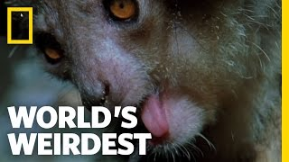 The Demon Primate | World's Weirdest