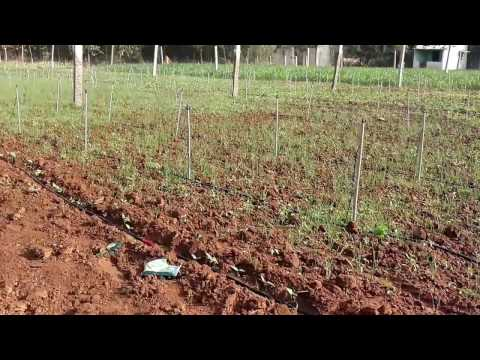 Garlic farming in Bangalore-india 20 days after sowing