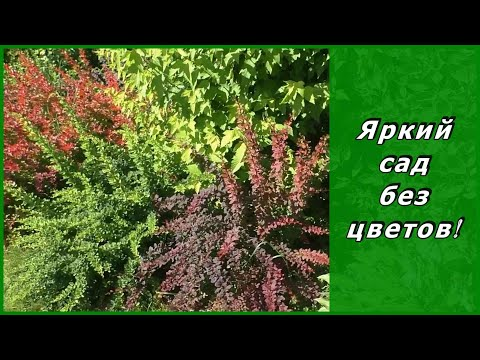 Барбарис тунберга соревнуется с цветами - барбрисовый сад в июле. Миксбордер из кустарников.