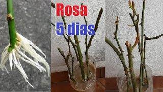 Como Fazer Muda de Rosa por Estaca